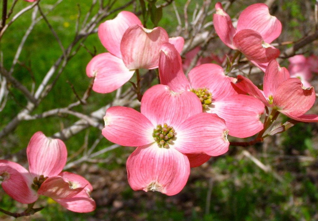 """From our readers: """"Such Color: Pink dogwood tree in spring ... - photo#12"""