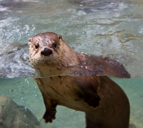 from our readers   u0026 39 underwater otter u0026 39  at the western north carolina nature center