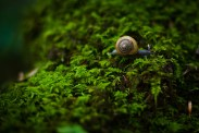 A blue snail makes its way through the moss that covers the trunk of a long-dead tree log in Joyce Kilmer-Slickrock Wilderness, in Graham County. The Joyce Kilmer Memorial Forest is celebrating the 75th anniversary of its dedication this year. Photo by Mike Belleme