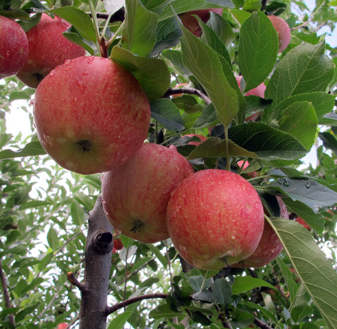Apples ready for picking at Skytop Orchard in Henderson County, in 2011. Angie Newsome/Carolina Public Press