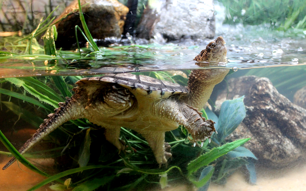 turtles like this snapping turtle at the western north carolina nature ...