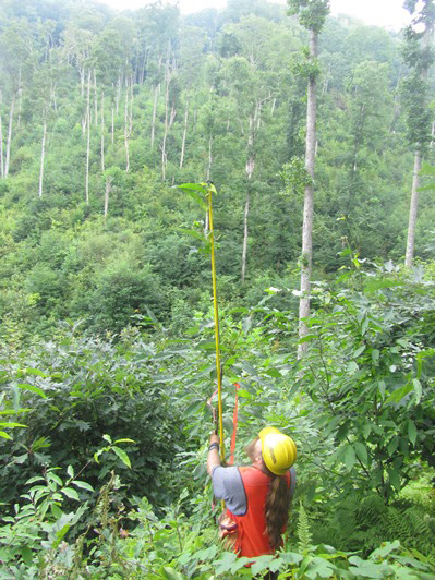 A University of Tennessee research technician measures a chestnut tree planted in 2011. Photo courtesy of the U.S. Forest Service.