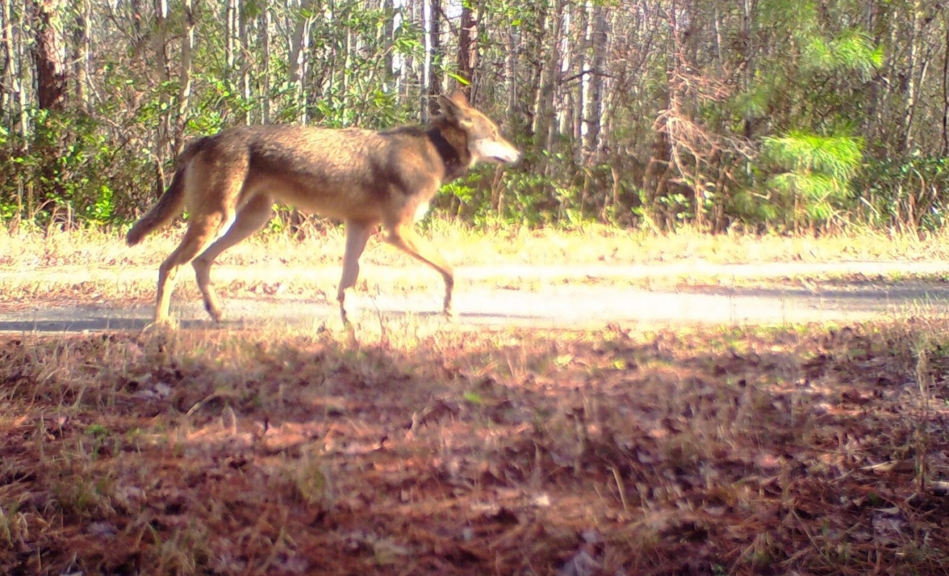 Red wolf near NC coast in January 2016.