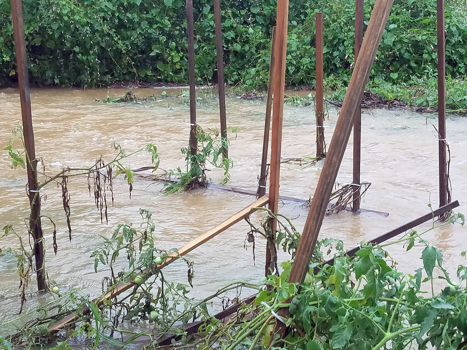 Flooded tomatoes in Stanly County